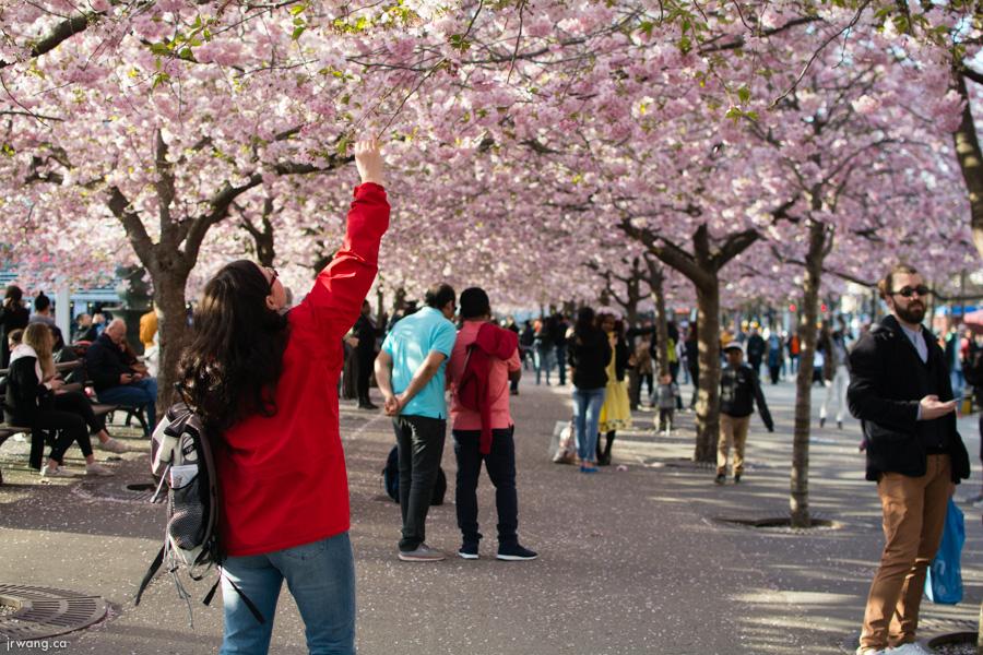 Cherry Blossoms in Kungsträgården
